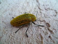 prachtkever -- Jewel Beetle -- Julodis ehrenbergii (Luc Coekaerts from Tessenderlo) Tags: grc greece kalavárda kalythies cc0 creativecommons 20160502193056lc fauna insect kever beetle species prachtkever jewelbeetle julodisehrenbergii nobody public coeluc vak201605rodos vak rodos rhodes