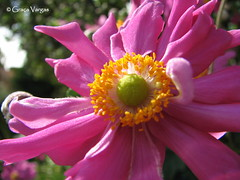 Pink world (✿ Graça Vargas ✿) Tags: flower graçavargas ©2017graçavargasallrightsreserved pink 9602180117