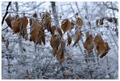 Sucreries - sweet things (isabelle.bienfait) Tags: hiver winter feuillesmortes givre gelée froid frost nikond7200 nature deadleaves isabellebienfait