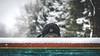"peeking (Ibi Szabo"") Tags: nikond7000 allrightsreserved snow 2016 madison wi winter peeking fence park"