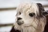 Alpaca head (Cloudtail the Snow Leopard) Tags: alpaka tier animal mammal säugetier nutztier kamel vicugna pacos pako alpaca zoo stadtgarten karlsruhe