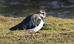 Lapwing 190117 (2) (Richard Collier - Wildlife and Travel Photography) Tags: birds british britishbirds wildlife naturalhistory lapwing