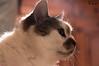 (f.cevrero) Tags: chat cat gatto animal pet animale domestico home made chez moi nikon d3200 portrait ritratto