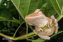 Four-lined tree frog (Polypedates leucomystax) - DSC_9836 (nickybay) Tags: macro singapore jalansamkongsi polypedates leucomystax rhacophoridae fisheye cctv wideangle