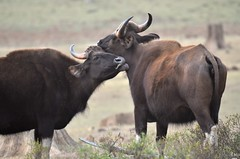 Gaur - Indian Bison (Smevin Paul) Tags: kabini trip february 2017 gaur indian bison pair lick mate ready for smevin paul smevinpaul smevinsphotography smevinpaulphotography smevinsphotos smevinsphotographs smevinpictures smevinspictures thrisookaran passion photography