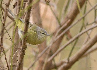 Orange crowned Warbler (Rare)