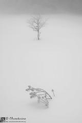 Emersioni (EmozionInUnClick - l'Avventuriero photographer) Tags: albero cespuglio forme nebbia neve