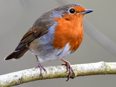 Listening. (pstone646) Tags: robin bird closeup animal wildlife nature fauna ashford kent feathers detail bokeh twig