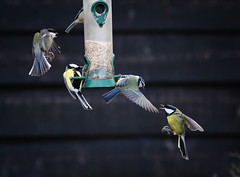 Argument at the Feeder (saundersfay) Tags: bluetits birds feeder wings flight seed feathers bluetitts flying feeding fluttering countryside kent 2017