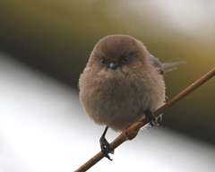 Another pose from the Dark Side (Paridae) Tags: bushtit femalebushtit psaltriparusminimus familyaegithalidae birdsofbritishcolumbia birdsofthefraserriver birdsofthefloodplain featheredfriends thingswithwings birdsofafeather canoneos7d 5gramsofcuteness