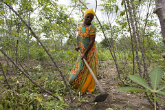Woman works in her cassava field in Mkuranga district,Tanzania. Photo H.Holmes/RTB