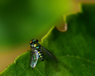 Little fly in a Green World... Happy St. Patricks Day! :)