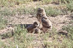 Burrowing Owl Family; Los Lunas, NM [Lou Feltz] (deserttoad) Tags: newmexico bird nature desert raptor owl migration behavior owlet wildbird