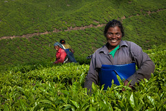 Tea pluckers. Munnar, India (Marji Lang Photography) Tags: life travel people woman india green nature colors smile smiling work happy photography workers women colorful tea indian smiles documentary kerala environment chai hillstation teaplantation inde southindia munnar plantations teaestate tealeaves pluckers environmentalportrait hardlife travelphotography teaculture 2013 teaplucking indiantea teapluckers pluckingtea workerportrait marjilang