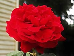 Red Velvet (MissyPenny) Tags: red usa flower rose garden bloom bristolpennsylvania
