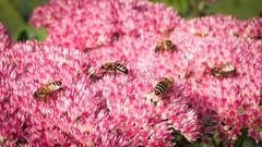 Apis mellifera on Sedum (mickmassie) Tags: sedum apis hymenoptera insecta apoideabeeswasps apidaesomebees gardentq209783