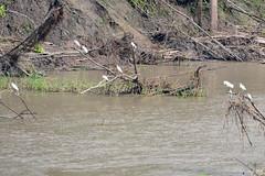 Rio Ucayali_2015 07 29_0846 (HBarrison) Tags: amazon peru hbarrison harveybarrison snowyegret taxonomy:binomial=egrettathula