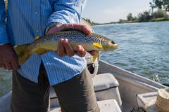 Brown Trout (Scott Michaels) Tags: nikon montana flyfishing browntrout d600 catchandrelease bighornriver nikon1635mm