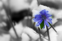 1-IMGP2793 (PahaKoz) Tags: flowers autumn plants snow plant flower nature garden flora chicory      cichorium  succory