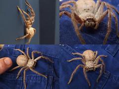 Sparassidae Huntsman Spider DSCF8779comp (Bill & Mark Bell) Tags: exmouth westernaustralia australia geo:town=exmouth geo:state=westernaustralia geo:country=australia geo:lon=11425453egeolat2217752sgeoalt8m 11425453e2217752salt8m taxonomy:kingdom=animalia animalia taxonomy:phylum=arthropoda arthropoda taxonomy:class=arachnida arachnida taxonomy:order=araneae araneae taxonomy:superfamily=sparassoidea sparassoidea taxonomy:family=sparassidae sparassidae taxonomycommonnamehuntsmanspider huntsmanspider spider
