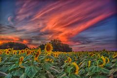 Big Bright sky (Kansas Poetry (Patrick)) Tags: sunflowers kansas lawrencekansas tonganoxie nancyemerson patrickemerson patricknancyforever grinterfarms chieftainroad