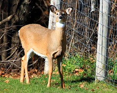 white-tailed deer doe at Seed Savers Exchange IA 854A5258 (lreis_naturalist) Tags: county seed reis doe iowa deer larry savers exchange whitetailed winneshiek