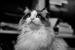 Zoe (shan.yew) Tags: blackandwhite bw monochrome cat zoe mono chat kitty monochromatic gato neko katze gatto ragdoll bicolor blackandwhitephoto bicolour nocticron