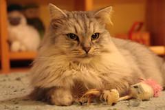 Fussel owns the toys (Vasquezz) Tags: cat katze siberian siberiancat sibirische кошка fussel forestcat waldkatze kittysuperstar cat500 sibirisch sibirischekatze сибирская hellopussycat сибирскаякошка