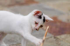 Kitten Playing with a Stick (d-harding) Tags: animals cat nikon kitten malaysia borneo kotakinabalu putatan d5100 nikond5100 sigma105mmf28macroexdgoshsm