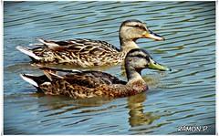 Los dos patitos (22) (# RAMN Mortadelo #) Tags: barcelona lago 22 agua animales nadando patos anade losdospatitos mortadelo65pp