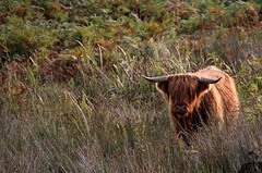 Scotland (>RVD) Tags: hello voyage trip travel abandoned montagne de photography scotland cow photo flickr photographie image pierre decay tag canyon september formation highland troll prairie loch paysage falaise extrieur rocher quoi je ness champ colline ecosse cosse rocheuse crte nimporte bretain arte escarp contrefort flanc
