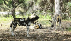 Lycaon pictus --  African Painted Dog 1096 (Tangled Bank) Tags: dog animal garden mammal zoo florida miami african painted lycaon zoological pictus
