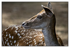 Portrait d'une Daine (Nadine.Dvx) Tags: animal dine daim cervid daine