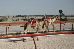 doha camel race (42) (Parto Domani) Tags: animal animals race radio robot corse arabic east camel arab oriente practice middle peninsula medio animali animale  doha qatar corsa arabica cammello  arabo penisola dromedario araber     cammelli  dromedari