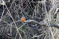 Kingfisher @ 700D (BX_Orange) Tags: bird birds canon bayern deutschland eos is bokeh kingfisher usm vgel ef vogel donau baggersee ingolstadt alcedo atthis 100400l eisvogel 700d canoneos700d