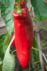 Pepper 'Thor' (Alan Buckingham) Tags: grafted pepper red redpepperthor vegetable