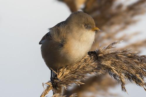 (074) Bird - Bearded Tit (Reedling) - Oulton Marshes