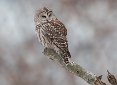 Barred Owl (Joe Branco) Tags: nikond500 nikon beautiful beauty canada ontarioparks owl nature lightroomcc2015 photoshopcc2017 branco joe wildlife joebrancophotography barredowl green