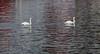 Schwäne im Sassnitzer Hafen (Andreas Issleib) Tags: canoneos5dmarkiii winter tier voegel tierwelt schwaene canonef70200mmf28lisiiusm sassnitz mecklenburgvorpommern deutschland de
