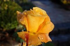 After a frosty night (libra1054) Tags: rosen rosas roses blumen flores fiori flowers fleurs flora giallo gelb amarillo jaune amarelo yellow macro outdoor