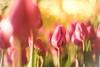 winter tulips and illumination light (Tomo M) Tags: illumination winter tulip wintertulip night bright light bokeh petal pink