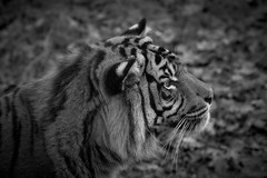 on dirait vraiment une grosse peluche (rondoudou87) Tags: tiger tigre sumatrantiger sumatran pentax k1 parc zoo reynou wildlife wild noiretblanc nature natur noir blanc black blackwhite monochrome felin profile profil