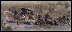 Bathtime (CliveDodd) Tags: starlings sturnus vulgaris