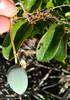 Maracujá (Sylvio-Orquídeas) Tags: fruto fruit maracujá massambaba passiflora mucronata passifloraceae
