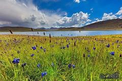 Flora ... (SMBukhari) Tags: pakistan deosaiplains sheosarlake wilderness flora flowers smbukhari syedmehdibukhari landsacpe gilgitbaltistan