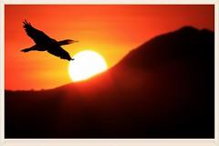 夕陽歸鳥   Bird fly back at sunset (C. Alice) Tags: light orange nature hongkong 2016 canonef300mmf4lisusm canoneos7d eos7d canon 300mm wetland bird shadow favorites50 1000views 1000v40f aatvl01 favorites100 autofocus 100commentgroup aatvl02 2000views favorites150