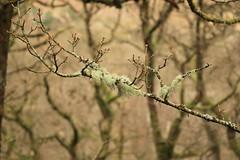 Tree Lichen - Usnea spp.? (WhitePointer) Tags: tree lichen usnea green