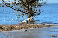 A-LUR_5557 (ornessina) Tags: trasimeno umbria byrd uccelli aironi cormorani toscana va orcia