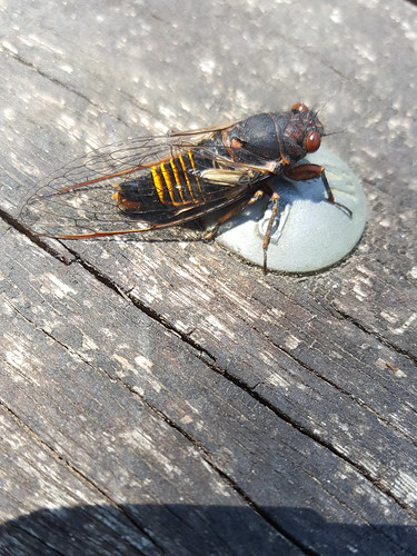Unidentified cicada at Marriners Falls picnic ground