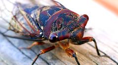 res78 (nigeldunn73) Tags: cicada macro insect lumix fz1000